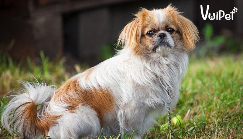 [Chó Nhật lùn - Chó Nhật lông xù] Đặc điểm chi tiết và bảng giá