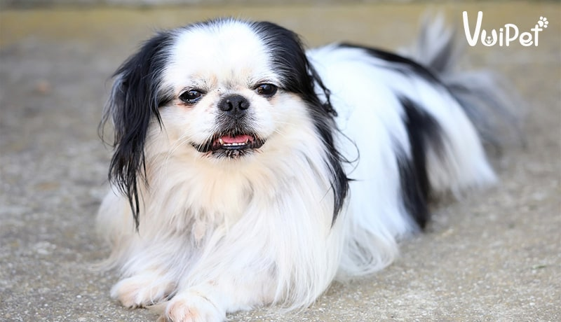 [Chó Nhật lùn - Chó Nhật lông xù] Đặc điểm chi tiết và bạn dạngg giá